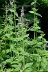 Stachys germanica ssp. salviifolia photo