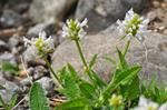 Stachys nivea photo