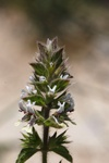 Stachys ocymastrum photo