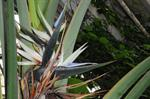 Strelitzia nicolai photo