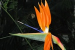 Strelitzia reginae photo
