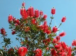 Callistemon sp. photo