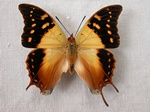 Charaxes antamboulou photo