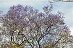 Jacaranda sp. photo