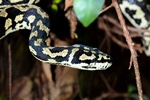 Jungle carpet python (Morelia spilota cheynei) photo