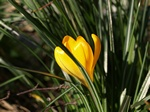 Crocus crysanthus photo