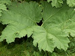 Gunnera tinctoria photo