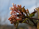 Viburnum farreri photo