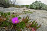 Karkalla, Native Pigface (Carpobrotus rossii) photo