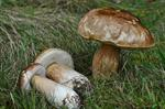 King Bolete (Boletus edulis) photo