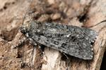 Knot Grass (Acronicta rumicis) photo
