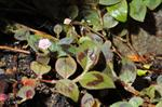Knotweed (Polygonum capitatum) photo