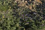 Lanzarote Bugloss (Echium lancerottense) photo