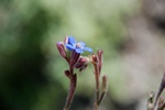 Large Blue Alkanet (Anchusa azurea) photo