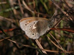 Large Heath (Coenonympha tullia) photo