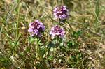 Large Thyme (Thymus pulegioides) photo