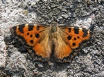 Large Tortoiseshell (Nymphalis polychloros) photo