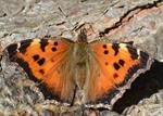 Large Tortoiseshell (Nymphalis xanthomelas) photo