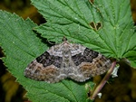 Large Twin-spot Carpet (Xanthorhoe quadrifasciata) photo