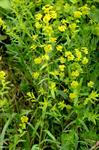 Leafy Spurge (Euphorbia esula) photo