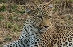 Leopard (Panthera pardus) photo