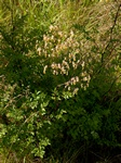 Lesser Meadow-Rue (Thalictrum minus ssp. minus) photo