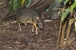 Lesser Mousedeer (Trangulus kanchil) photo