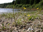 Lesser Spearwort (Ranunculus flammula ssp. flammula) photo