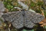 Lewes Wave (Scopula immorata) photo