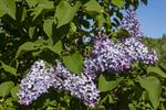 Lilac (Syringa vulgaris) photo