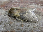 Lobster Moth (Stauropus fagi) photo