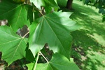 London Planetree (Platanus acerifolia) photo