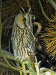 long eared owl (Asio otus) photo