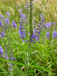 Long-Leaved Speedwell (Veronica longifolia) photo
