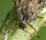 Dictyla convergens photo