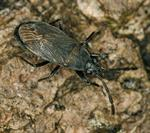 Peritrechus geniculatus photo