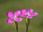 Maiden Pink (Dianthus deltoides) photo