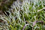 Many-forked cladonia (Cladonia furcata) photo