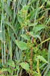 Many-Seeded Goosefoot (Lipandra polysperma) photo