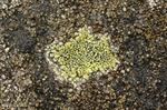 Map lichen (Rhizocarpon geographicum) photo