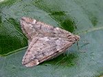 March Moth (Alsophila aescularia) photo