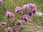 Marjoram (Origanum vulgare) photo