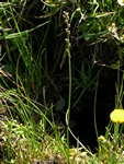 Marsh Arrowgrass (Triglochin palustris) photo
