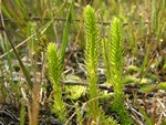 Marsh Clubmoss (Lycopodiella inundata) photo