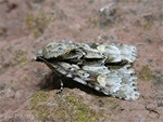 Marsh Dagger (Acronicta strigosa) photo