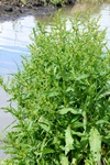 Marsh Dock (Rumex palustris) photo