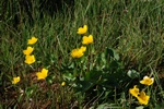 Marsh Marigold (Caltha palustris) photo