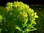 Marsh Spurge (Euphorbia palustris) photo
