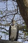 Martial Eagle (Polemaetus bellicosus) photo
