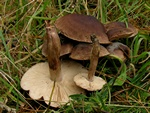 Matt Knight (Tricholoma imbricatum) photo